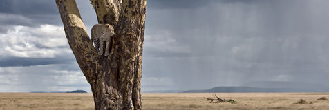Leopard im Baum Serengeti im Nationalpark Lizenzfreies Stockbild