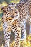Leopard im Busch in einem Safari-Park stockfotografie