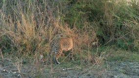 Leopard im hohen Gras stock footage