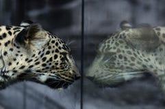 Leopard im Spiegel Stockfoto