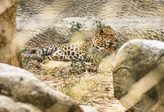 Leopard improsoned behind a Zoo Cage. Sad frontal view of a leopard in captivity Royalty Free Stock Photos
