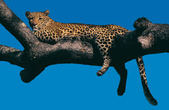 Free Leopard In A Tree Stock Photos - 8333563