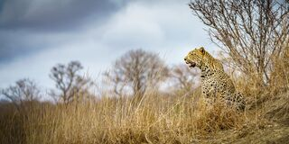 Free Leopard In Kruger National Park, Mpumalanga, South Africa 88 Royalty Free Stock Photography - 213072637