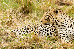 Free Leopard In The Bush In South Africa Royalty Free Stock Image - 38151206