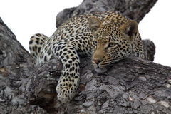 Free Leopard In Tree Royalty Free Stock Photo - 30467095