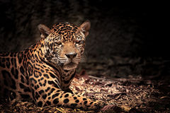 Leopard with intense eyes Stock Images