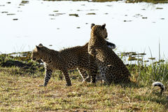 Leopard Interaction Stock Photo