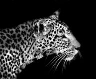 Leopard isolated on black. Leopard profile isolated on a black background Royalty Free Stock Image