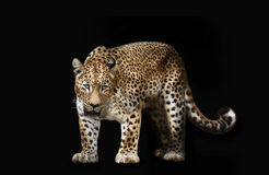 Leopard isolated on black Stock Photography