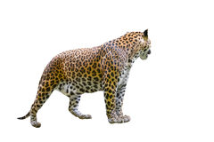 Leopard isolated Stock Photo
