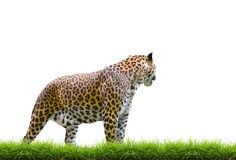 Leopard isolated Stock Image