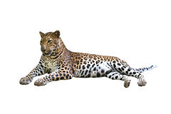 Leopard isolated. Leopard ( Panthera pardus ) isolated on white background Stock Photography