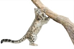 Leopard. Isolated on white background Royalty Free Stock Image