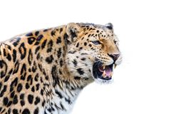 Leopard isolated on white background Stock Photos