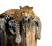 Leopard Isolated on White Background Royalty Free Stock Photo