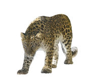 Leopard Isolated on White Stock Photos