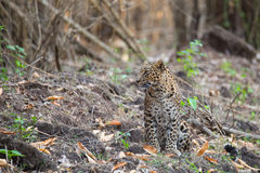 Leopard with its habitat Royalty Free Stock Photography