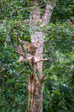 Leopard with its kill on a tree Stock Photography