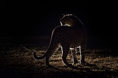 A leopard on its nightly patrol pausing in the spot light stock image