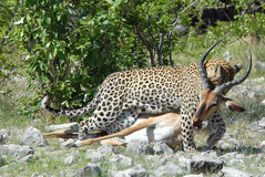Leopard with its prey. Leopard dragging dead impala Royalty Free Stock Photography