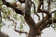 Leopard with its prey Royalty Free Stock Images