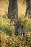 Leopard-Jagd stockbild