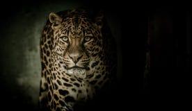 Leopard, Jaguar, Mammal, Wildlife Stock Image