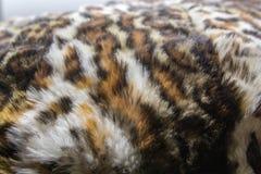 Leopard Jaguar päls med befläckt på hudtextur, slut upp royaltyfria bilder