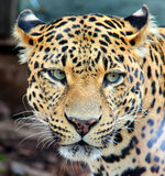 Leopard,Jaguar ,Panther. Big leopard with beautiful eyes , wild cat Royalty Free Stock Image
