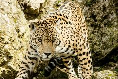 Leopard, Jaguar, Terrestrial Animal, Wildlife royalty free stock photo
