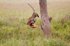 Leopard jumping out of tree. With kill Stock Photos