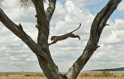 Leopard jumping from a tree, Serengeti Stock Photo