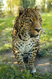 Leopard in jungle. Leopard staring away in the jungle Royalty Free Stock Photos