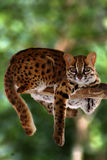 Leopard-Katze, Felis Bengalennsis, Sarawak, Malaysia Lizenzfreies Stockbild