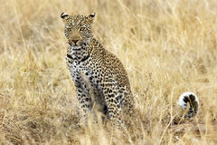 Leopard. Kenya. Masai Mara. Travel for Animals Africa Stock Image
