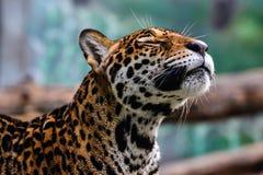 leopard khao kheow ανοικτός ζωολογικός κήπος Στοκ Εικόνες