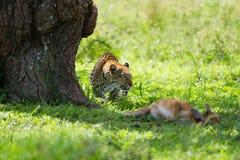 Leopard kill Stock Images