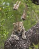 Leopard kill. Leopard resting in a tree after killing a young Bluewildebeest Royalty Free Stock Images