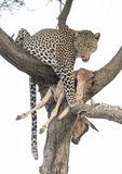 Leopard with a kill. Stock Images