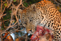 Leopard with Kill. Londolozi Private Game Reserve, Kruger Nation Royalty Free Stock Photo