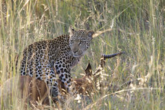 Leopard on Kill - Phabeni Gate KNP Stock Images