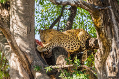 Leopard with killed antelope in tree Royalty Free Stock Photography