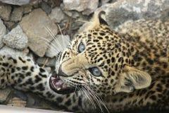 Leopard - kommande hörntand Royaltyfria Bilder