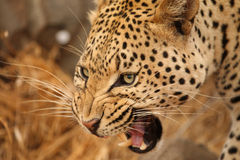 Leopard Kruger im Nationalpark Stockfoto