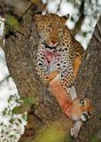 Leopard in Kruger National Park. South Africa, resting under a fallen tree Stock Image