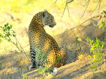 Southern african animals. Leopard at Kruger National Park Stock Photography