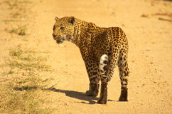 Southern african animals. Leopard at Kruger National Park Stock Photos