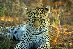 Southern african animals. Leopard in the Kruger National Park Stock Photos