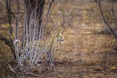 Leopard in Kruger National park, South Africa Stock Images