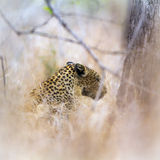 Leopard in Kruger National park Royalty Free Stock Photography